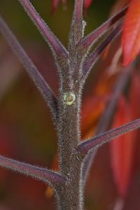 Staghorn Sumac Twig