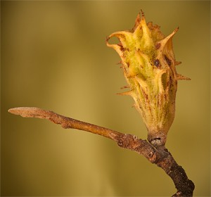 Spiny Witch-hazel Gall