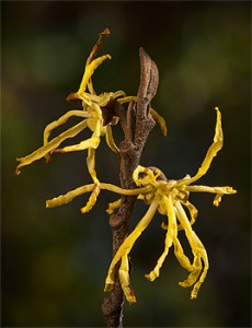 Hamamelis virginiana, Michigan