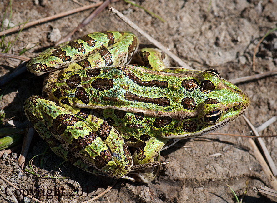 "Leopard Frog, ""Green"" Form"