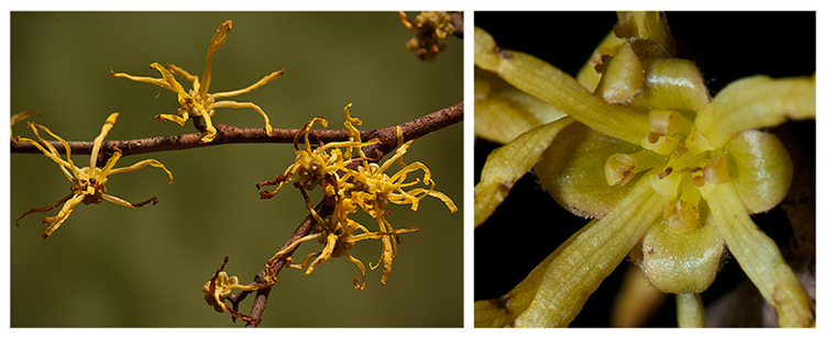 Hamamelis virginiana, Witch-hazel, Michigan