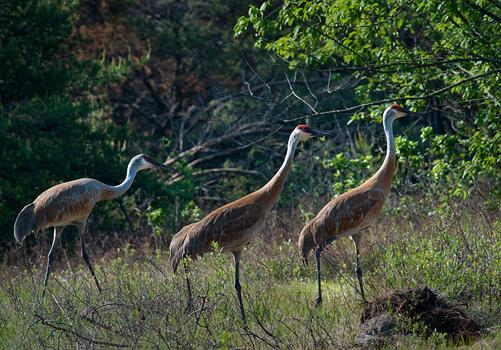 Green Heron - Michigan Bird - Dialog with Nature