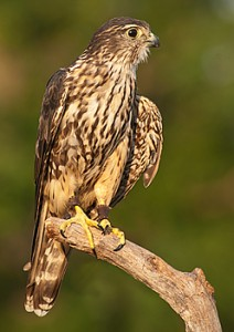 Merlin captive female (Photo by Donald Drife)