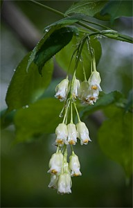 Bladdernut Staphylea trifolia flowers