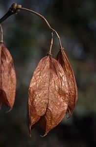 Bladdernut Staphylea trifolia pods
