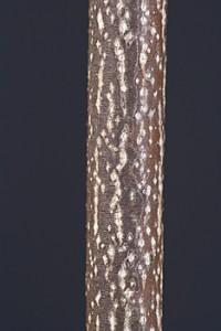 Bladdernut Staphylea trifolia twig