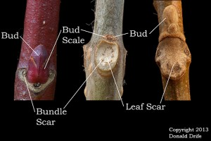 Bud, Bud Scale, Leaf Scar, and Bundle Scar