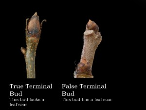 True and False Terminal Buds