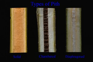 Pith Types: Solid, Chambered, and Diaphragmed