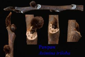 Asimina triloba Pawpaw