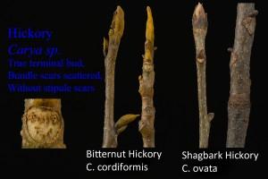 Carya cordiformis and Carya ovata Bitternut and Shagbark Hickory