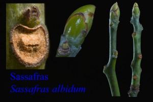 Sassafras albidum Sassafras