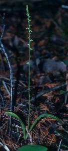 Platanthera unalascensis