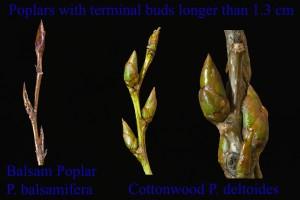 Populus balsamifera P. deltoides