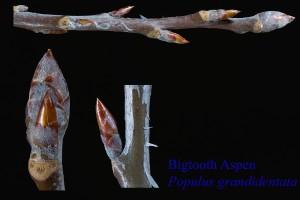 Populus grandidentata, Bigtooth Aspen