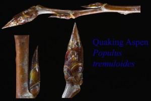 Populus tremuloides, Quaking Aspen