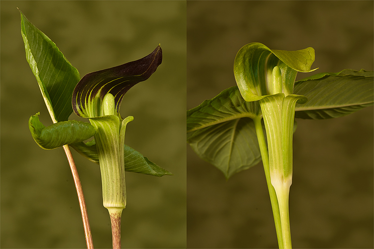 Michigan spring wildflowers the michigan nature guys blog arisaema triphyllum mightylinksfo Image collections