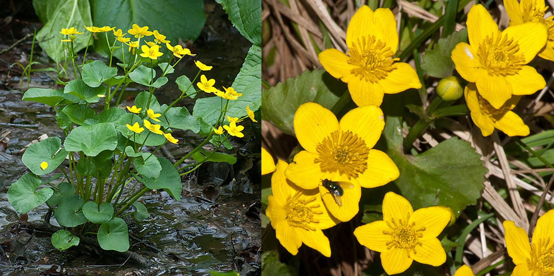 Wild Geranium The Michigan Nature Guys Blog