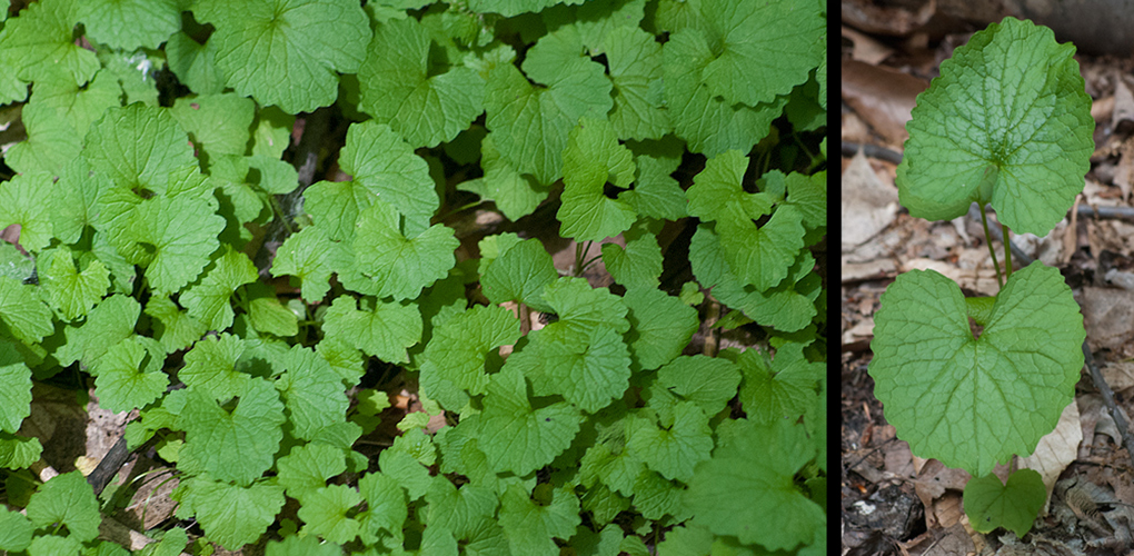 Alliaria petiolata  Garlic Mustard Basal Leaves