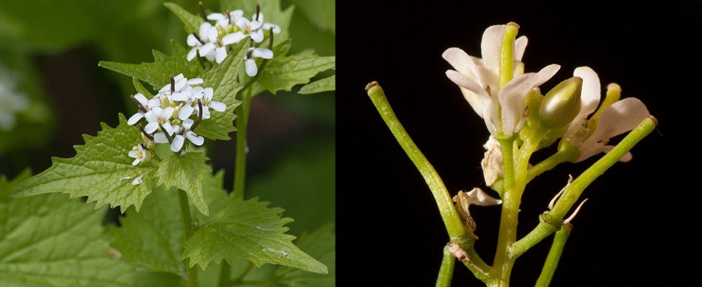 Alliaria petiolata  Garlic Mustard Flowers