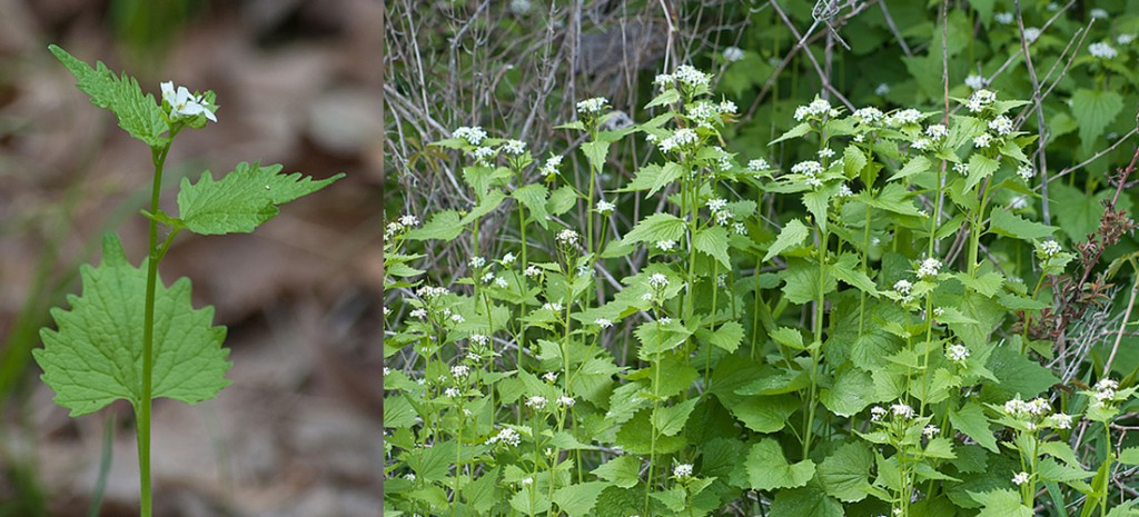 Alliaria petiolata Garlic Mustard Plants