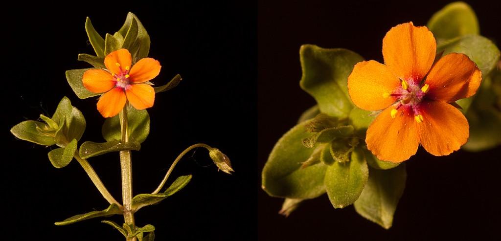 Anagallis arvensis Scarlet Pimpernel Flowers