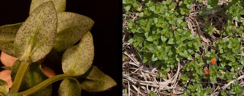 Anagallis arvensis Scarlet Pimpernel leaves