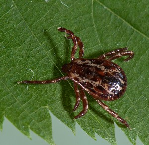 Dermacentor variabilis American Dog Tick male