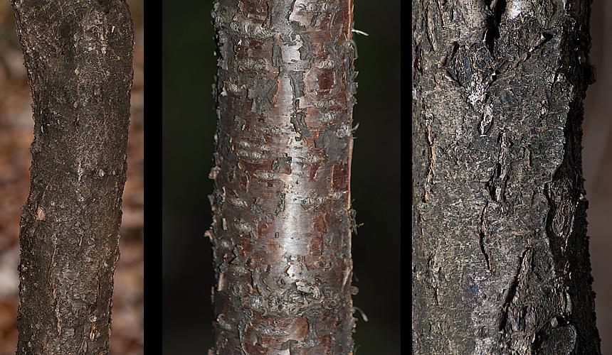 Rhamnus cathartica bark
