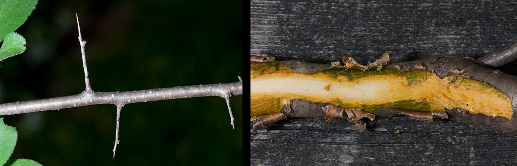 Rhamnus cathartica thorns-inner bark