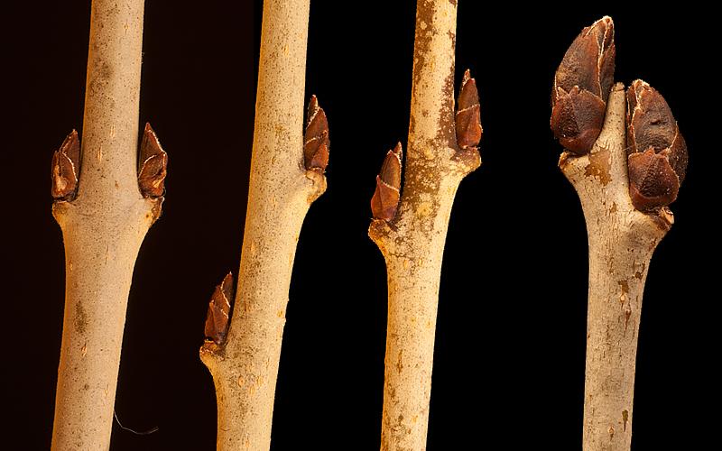 Rhamnus cathartica twig