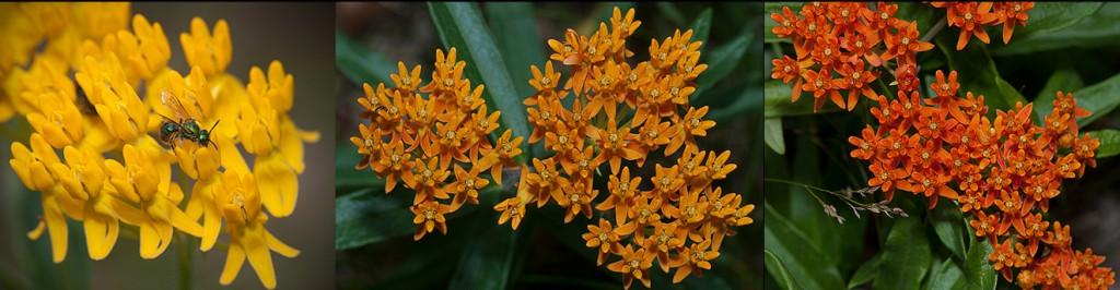 Asclepias tuberosa flowers