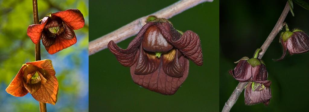 Asimina triloba Pawpaw flowers