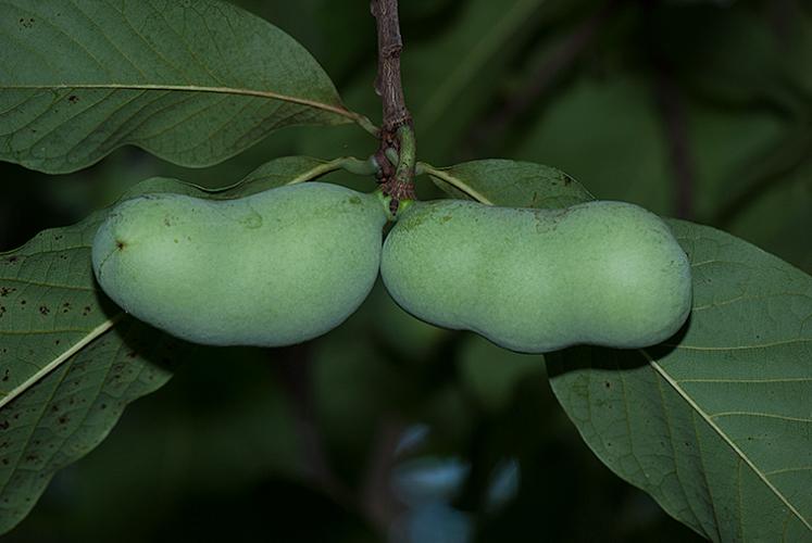 Asimina triloba Pawpaw fruit
