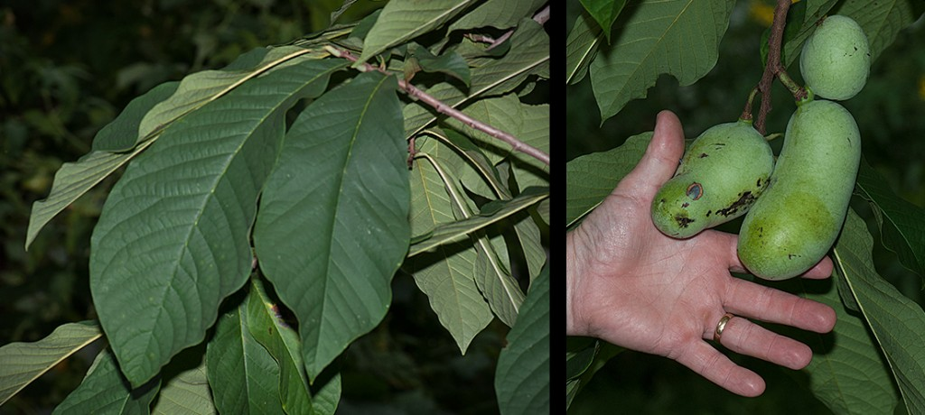 Asimina triloba Pawpaw leaves and fruit