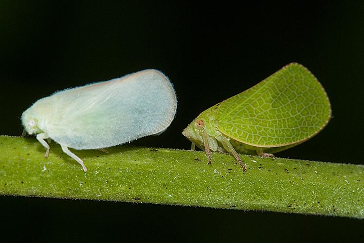 Flatormenis proximais and Acanalonia bivittata