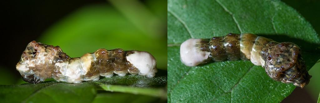 Giant Swallowtail Larva