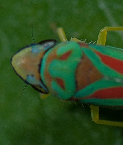 Graphocephala closeup