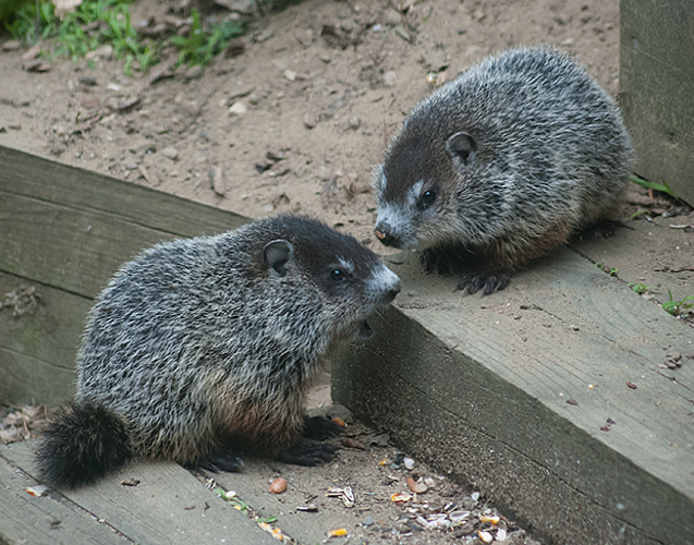 Baby Woodchucks in Spring