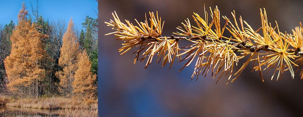 Larix laricina Autumn
