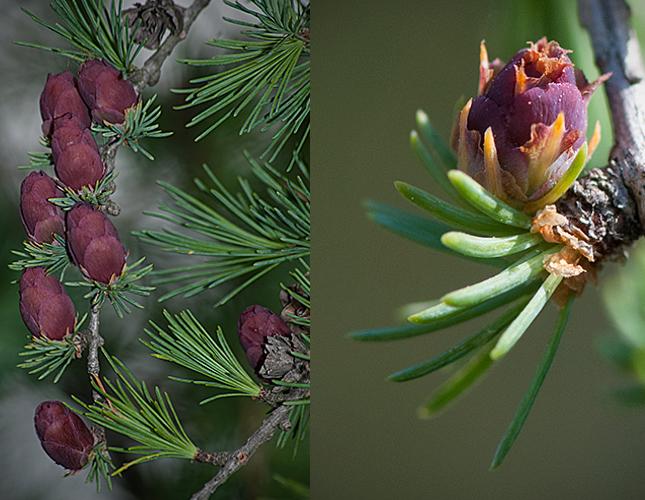 Larix laricina new cones