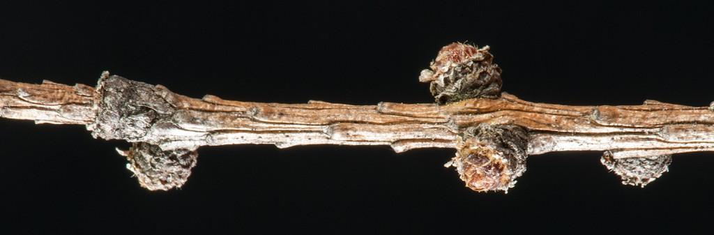 Larix laricina twig