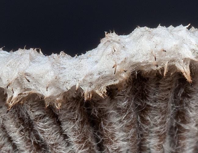 Schizophyllum commune Split Gill Dry