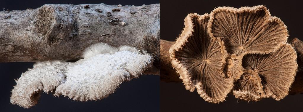 Schizophyllum commune Split Gill upper - lower Dry