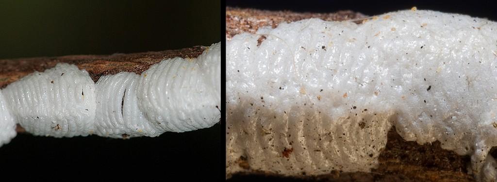 Enchenopa viburni eggs L-September R-December