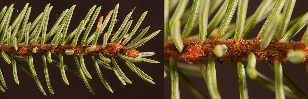 Picea mariana branchlets