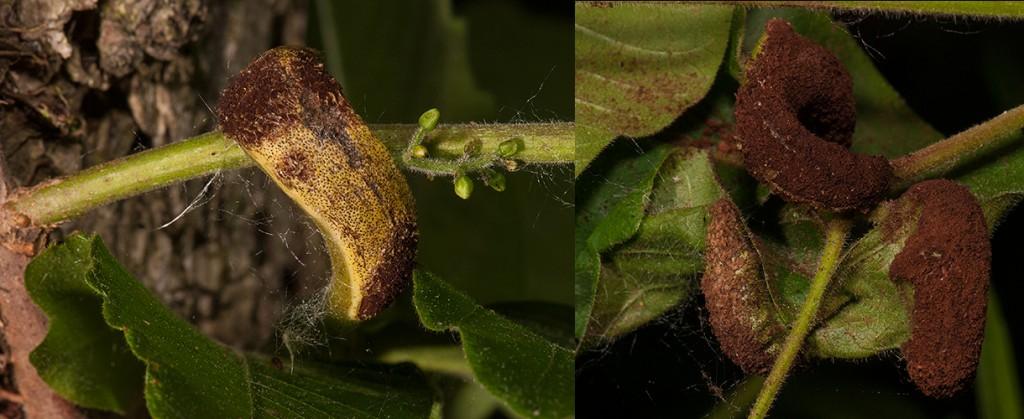 Pileolaria brevipesToxicodendron radicans