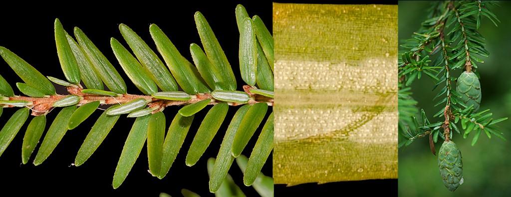 Tsuga canadensis Branchlet Stomata Cones
