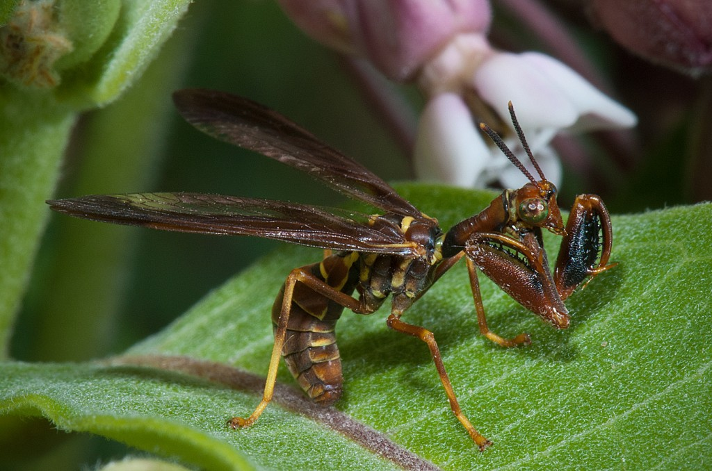 Wasp Mantid Fly