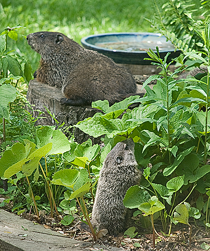 Mother Woodchuck keeping watch